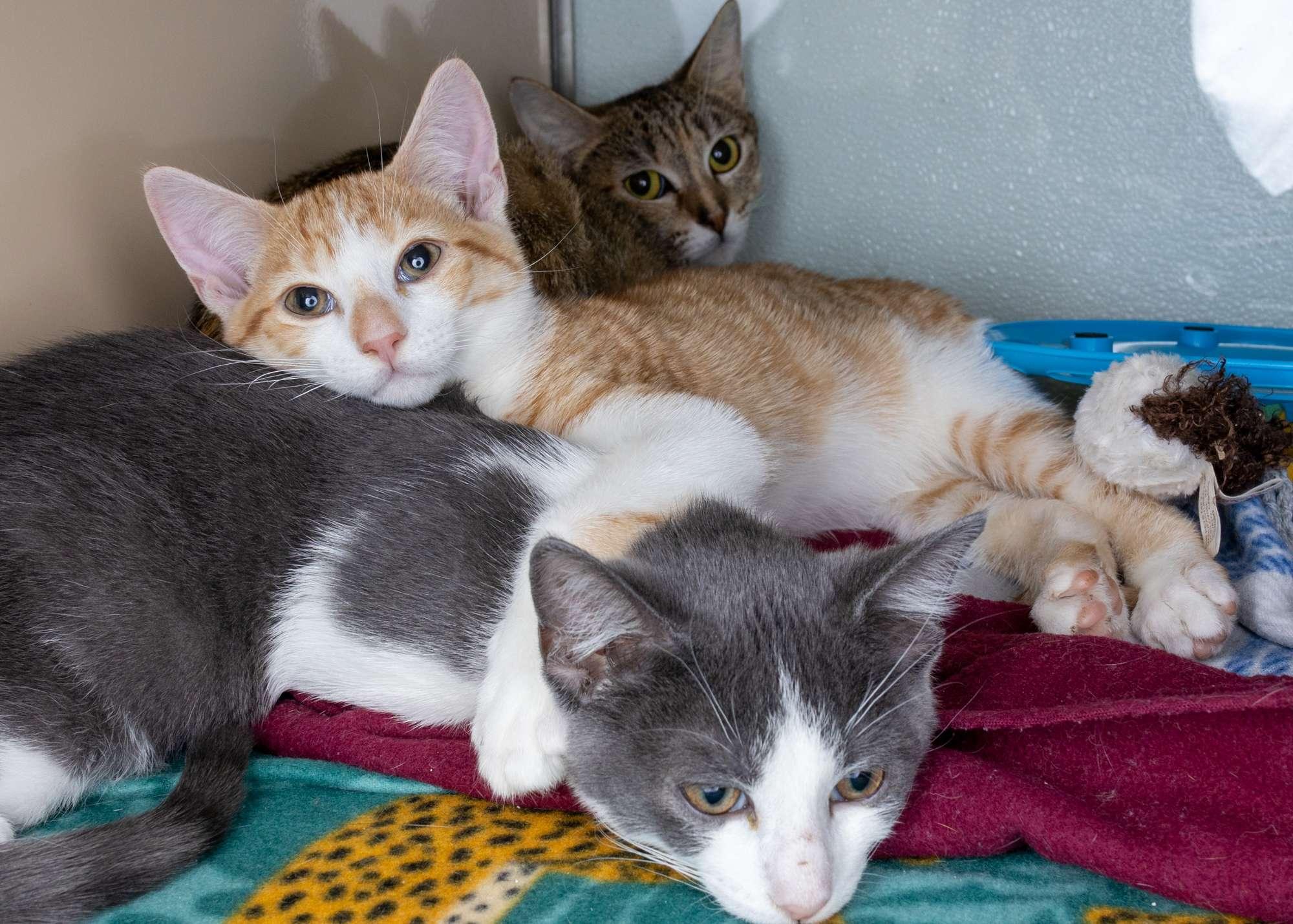 Kittens for Adoption NH
