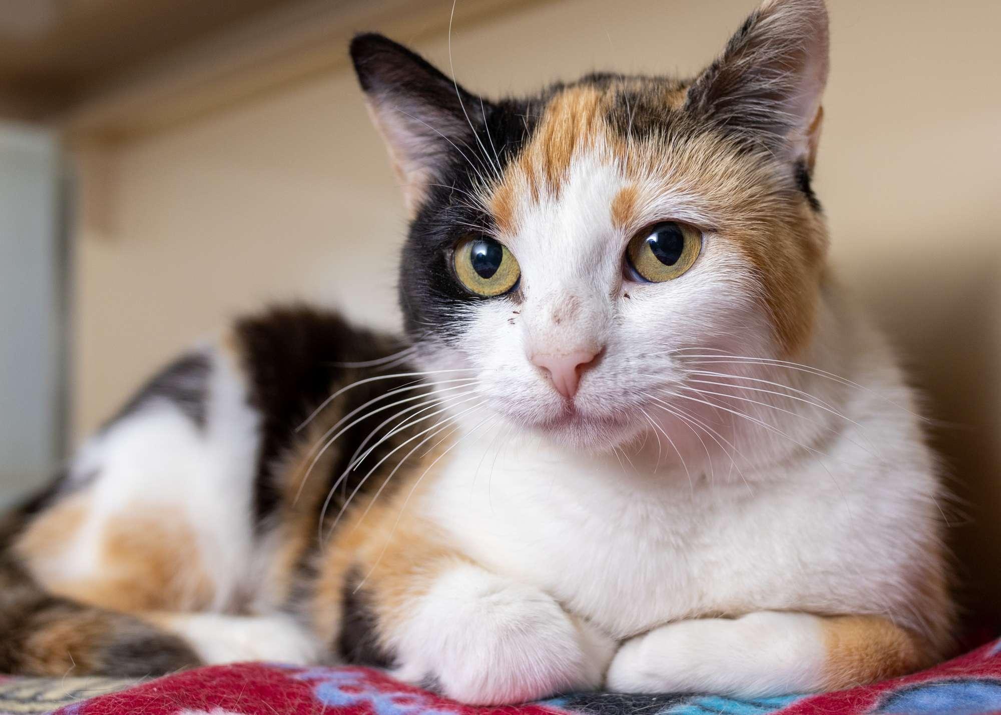 Zina - Furrr Feline Rescue - Cats & Kittens Available for Adoption
