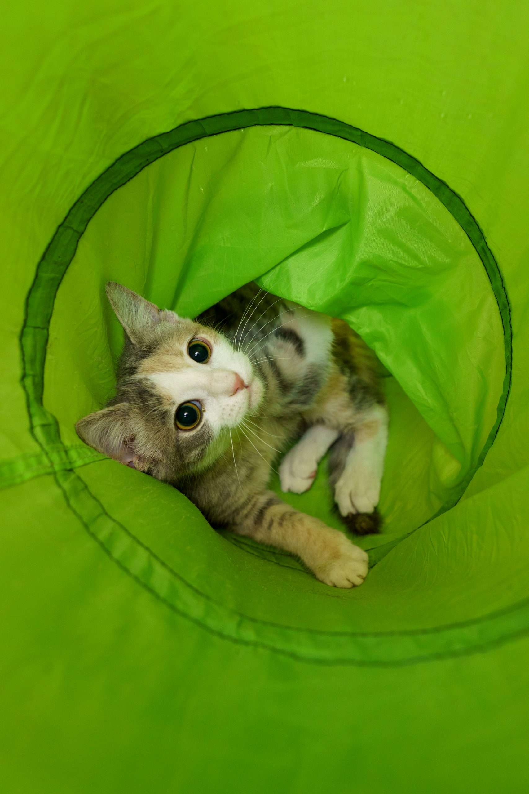 Adopt a kitten in NH