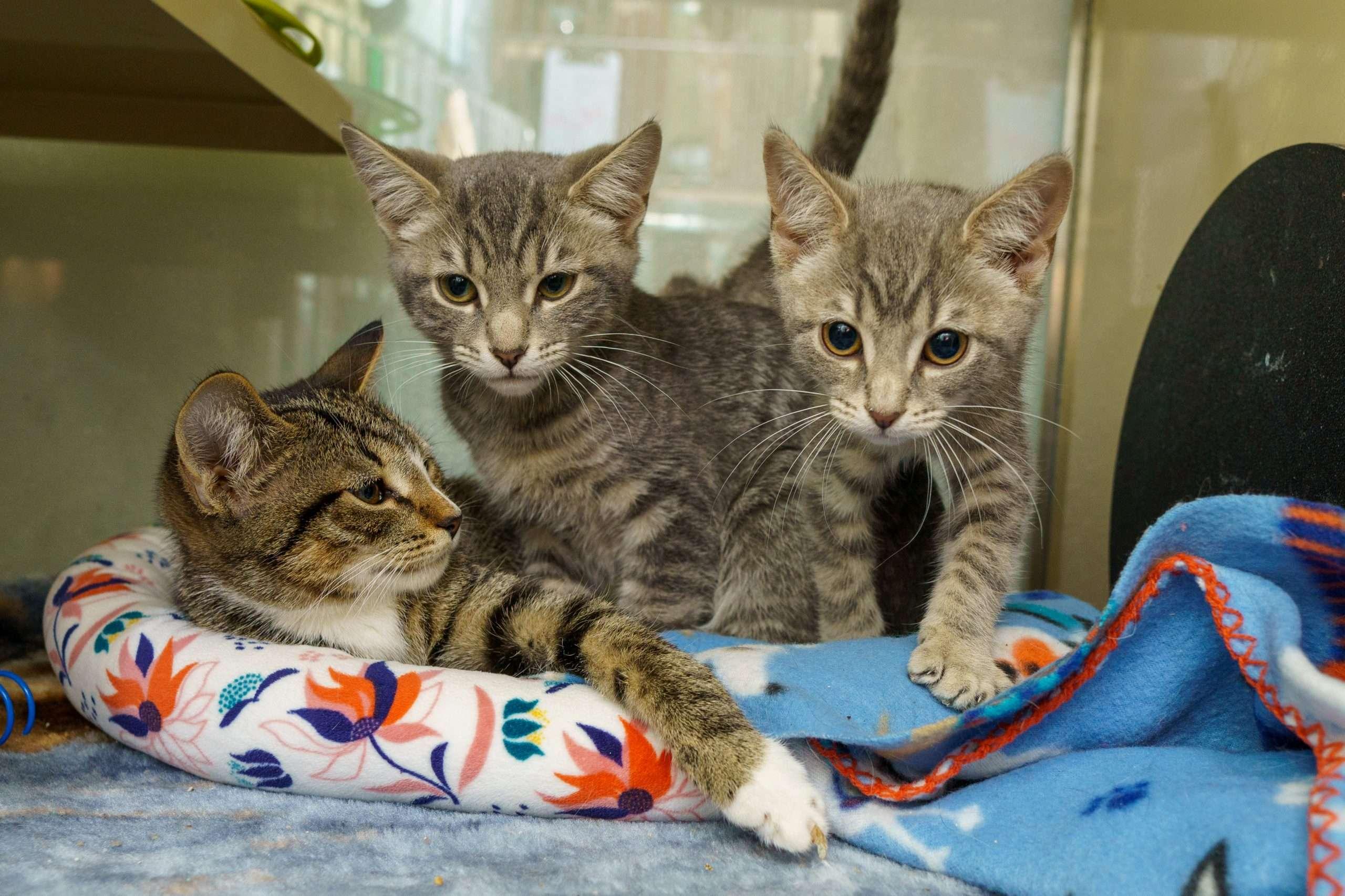 FuRRR Feline Rescue Cat Adoption