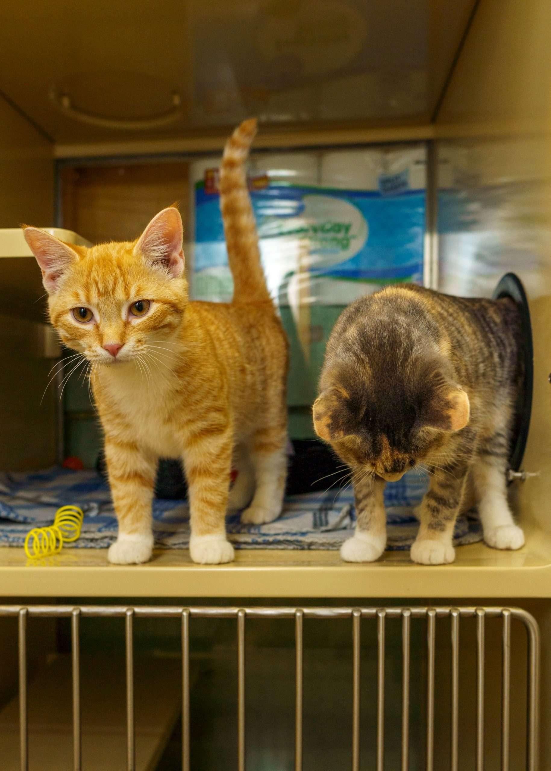 cat adoption near me NH