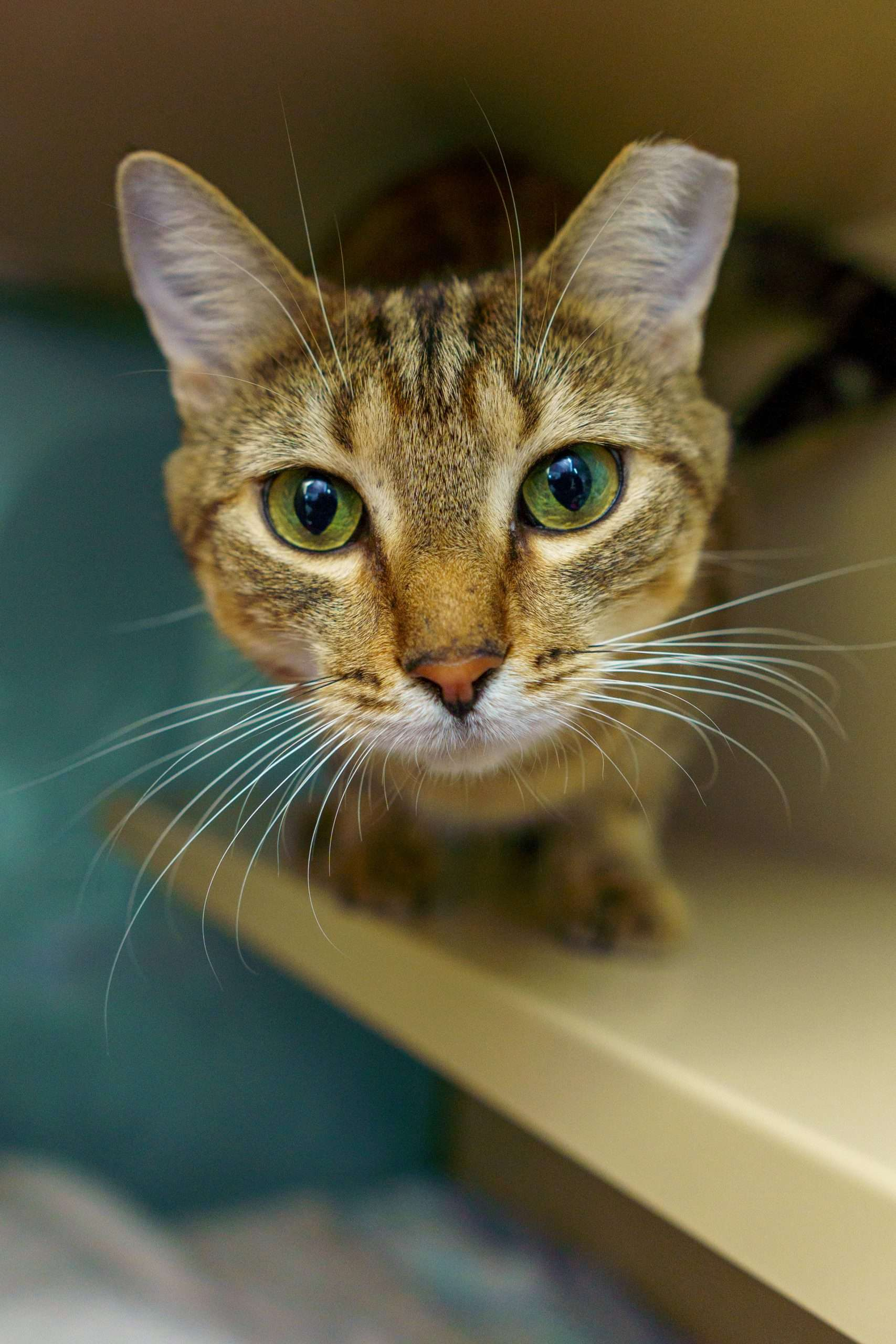 where to adopt a cat in NH